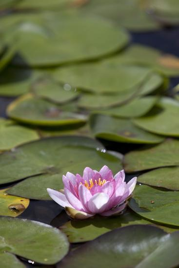 Water Lily at Rapaura Water Gardens-Stuart-Photographic Print