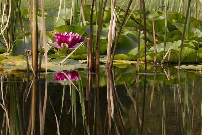 Water Lily in Pond-humbak-Photographic Print