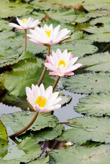 Water Lily (Lotus) and Leaf in Pond-chomnancoffee-Photographic Print