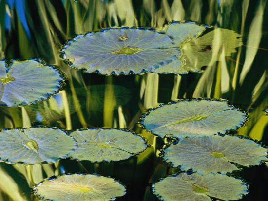 Water Lily Pads on the Surface of a Chicago Botanic Garden Pool-Paul Damien-Photographic Print