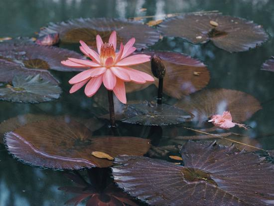 Water Lily Plants-B^ Anthony Stewart-Photographic Print