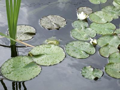 Water Lily Pond-Anna Miller-Photographic Print