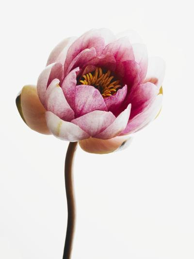 Water lily--Photographic Print
