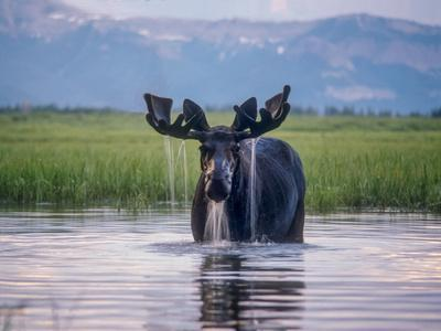 https://imgc.artprintimages.com/img/print/water-pours-from-the-antlers-of-a-bull-moose-lifting-his-head-from-beaverdam-creek_u-l-pokm1q0.jpg?p=0