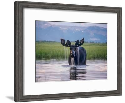 Water Pours from the Antlers of a Bull Moose Lifting His Head from Beaverdam Creek-Tom Murphy-Framed Photographic Print