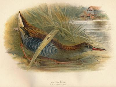 Water Rail (Rallus aquaticus), 1900, (1900)-Charles Whymper-Giclee Print