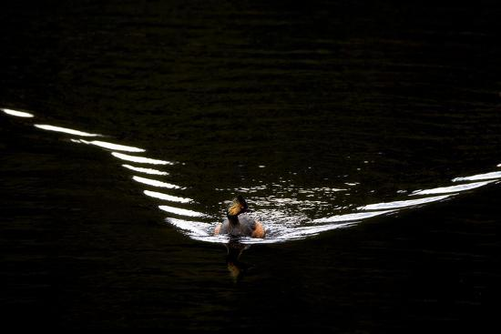 Water Ripples Behind an Eared Grebe, Podiceps Nigricollis, Swimming in Calm Water-Robbie George-Photographic Print