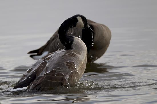 Water Running Off the Back of a Canada Goose After Bathing-Robbie George-Photographic Print