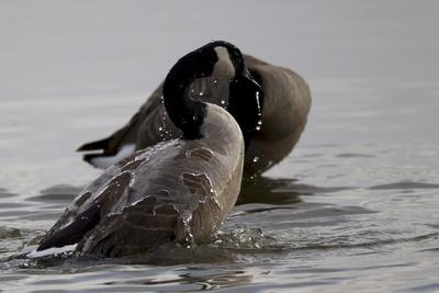 https://imgc.artprintimages.com/img/print/water-running-off-the-back-of-a-canada-goose-after-bathing_u-l-pio5xx0.jpg?p=0