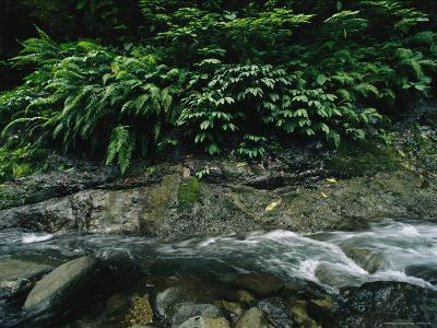 Water Rushing Past Ferns and Other Foliage in a Stone-Filled Creek Bed-Tim Laman-Photographic Print