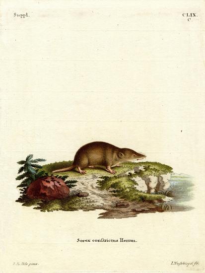 Water Shrew--Giclee Print