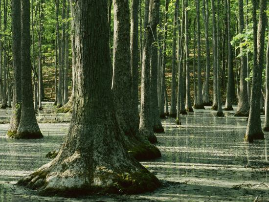 Water Tupelo swamp, Ripley County, Missouri, USA-Charles Gurche-Photographic Print