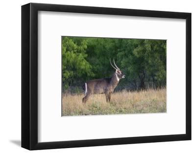 Waterbuck (Kobus ellipsiprymnus) in grassland.-Larry Ditto-Framed Photographic Print