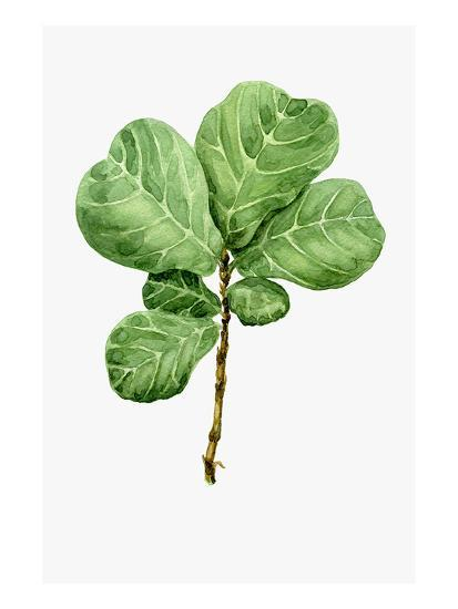Watercolor Ficus Branch--Art Print