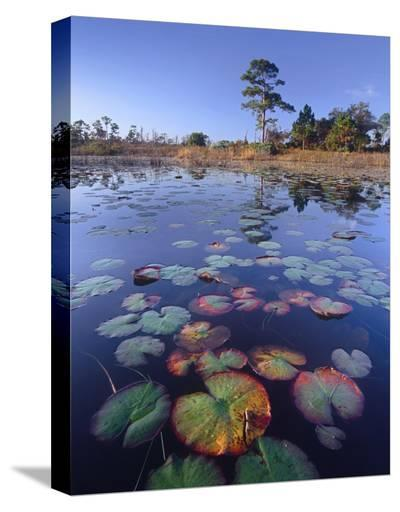 Waterlilies in pond, Jonathan Dickinson State Park near Hobe Sound, Florida-Tim Fitzharris-Stretched Canvas Print