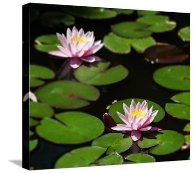 Waterlilies On Water's Surface--Stretched Canvas Print