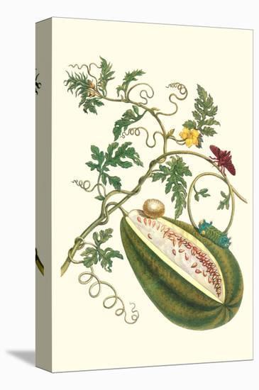 Watermelon and Slug Moth-Maria Sibylla Merian-Stretched Canvas Print