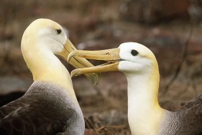 Waved Albatross Courtship Display--Photographic Print