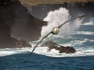 Waved Albatross (Diomedea Irrorata), Galapagos Islands, Ecuador, Composite image-Gerald & Buff Corsi-Photographic Print