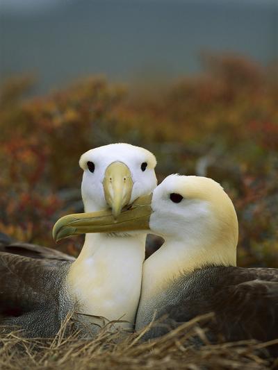 Waved Albatross (Diomedea Irrorata), Punta Cevallos, Espanola Island, Galapagos Islands, Ecuador-Tui De Roy/Minden Pictures-Photographic Print
