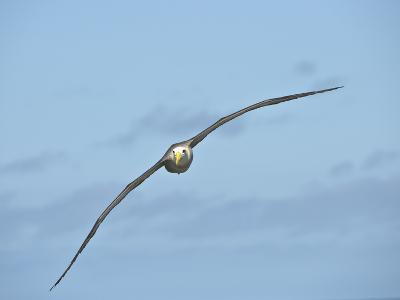 Waved Albatross Flying (Phoebastria Irrorata), Punta Suarez, Espanola Island, Galapagos Islands-Gerald & Buff Corsi-Photographic Print