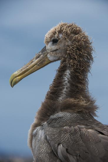 Waved Albatross Juvenile, Espanola Island, Galapagos Islands, Ecuador-Pete Oxford-Photographic Print