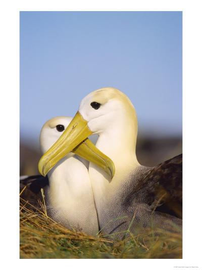 Waved Albatross, Pair Bonding, Espanola Island, Galapagos-Mark Jones-Photographic Print