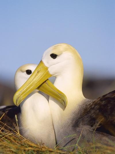 Waved Albatross, Pair Bonding, Espanola Island, Galapagos-Mark Jones-Photographic Print