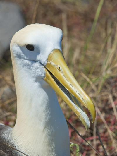 Waved Albatross (Phoebastria Irrorata), Galapagos Islands, Ecuador-Gerald & Buff Corsi-Photographic Print