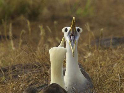 Waved Albatrosses, Phoebastria Irrorata, in Courtship Behavior-Tim Laman-Photographic Print