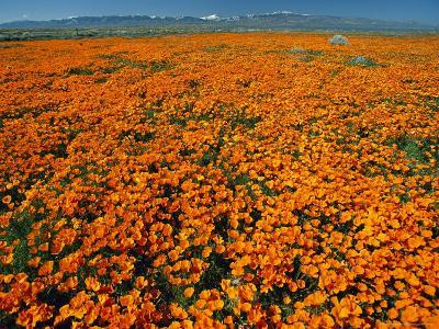 Waves of California Poppies Reach Towards Snow-Covered Mountains-Jonathan Blair-Photographic Print