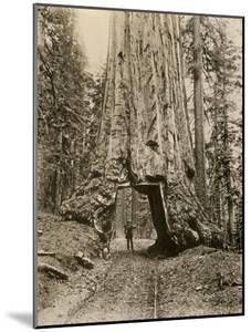 Wawona, a Giant Sequoia in Yosemite's Mariposa Grove, California, Circa 1890