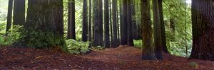 Redwoods 1 by Wayne Bradbury
