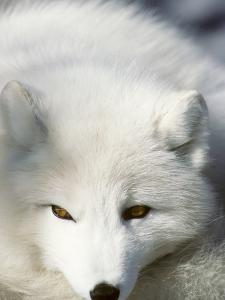 Adult Arctic Fox (Alopex Lagopus) in Winter Pelage, Arctic Canada by Wayne Lynch