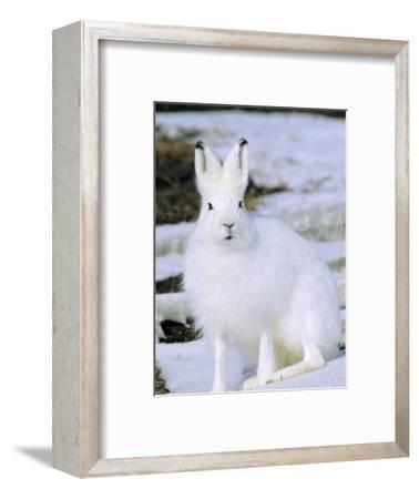 Adult Arctic Hare (Lepus Arcticus), Banks Island, Northwest Territories, Arctic Canada