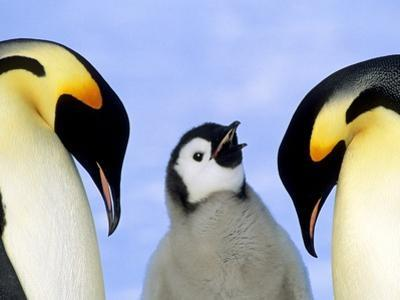 Adult Emperor Penguins (Aptenodytes Forsteri) and Chick, Atka Bay Colony, Weddell Sea, Antarctica. by Wayne Lynch