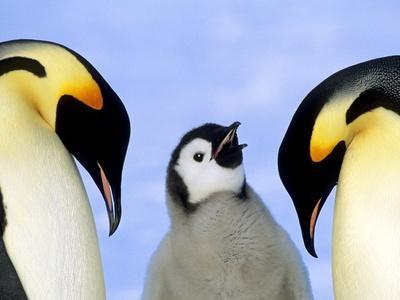 Adult Emperor Penguins (Aptenodytes Forsteri) and Chick, Atka Bay Colony, Weddell Sea, Antarctica.