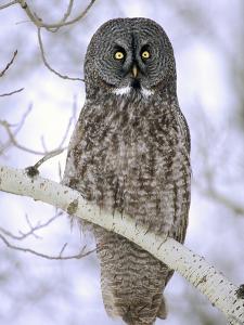 Adult Great Gray Owl (Strix Nebulosa) Hunting in a Winter Roadside, Northern Alberta, Canada. by Wayne Lynch