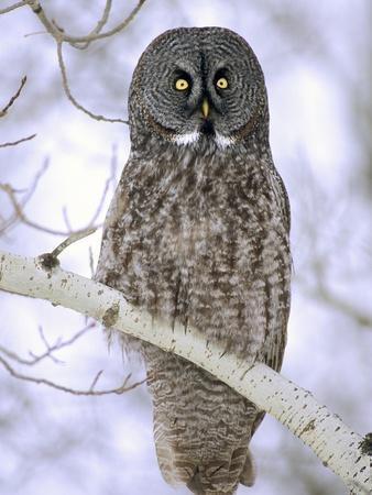 Adult Great Gray Owl (Strix Nebulosa) Hunting in a Winter Roadside, Northern Alberta, Canada.