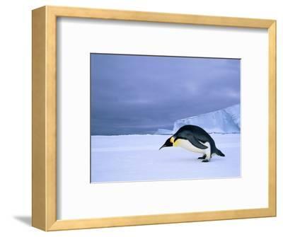 Emperor Penguin (Aptenodytes Forsteri) at the Edge of the Shorefast Ice, Drescher Inlet, 72 Degrees