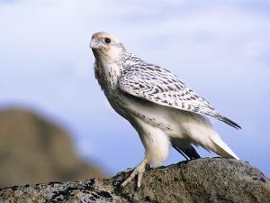 Juvenile Gyrfalcon (Falco Rusticolus), Ellesmere Island, Nunavaut, Arctic Canada by Wayne Lynch