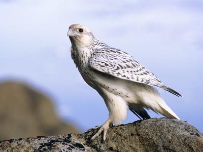Juvenile Gyrfalcon (Falco Rusticolus), Ellesmere Island, Nunavaut, Arctic Canada