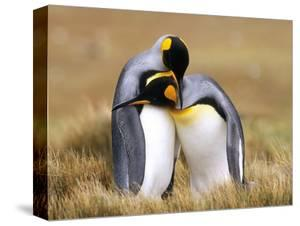 Mating King Penguins (Aptenodytes Patagonicus) Volunteer Point, Falkland Islands, Southern Atlantic by Wayne Lynch