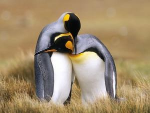 Mating King Penguins (Aptenodytes Patagonicus) Volunteer Point, Falkland Islands, Southern Atlantic by Wayne Lynch