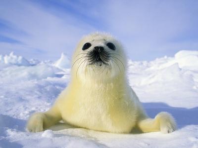 Newborn Harp Seal (Phoca Groenlandica) Pup (yellowcoat), Gulf of the St. Lawrence River, Canada. Na