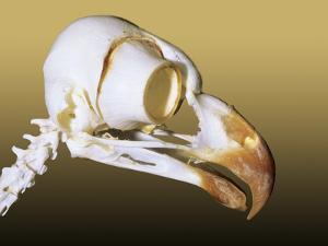 Skull of an Adult Great Horned Owl (Bubo Virginianus), Alberta, Canada by Wayne Lynch