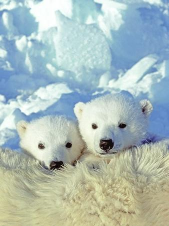 Three-month Old Twin Polar Bear Cubs (Ursus Maritimus) Resting on Their Mother's Back, Coastal Huds