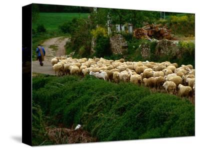 Shepherd Leading Flock of Sheep, Belorado, Spain