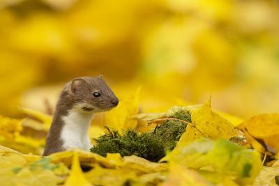 Weasel (Mustela Nivalis) Head and Neck Looking Out of Yellow Autumn Acer Leaves-Paul Hobson-Photographic Print