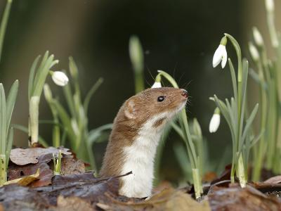 Weasel (Mustela Nivalis) Looking Out of Hole on Woodland Floor with Snowdrops-Paul Hobson-Photographic Print